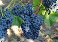 Виноград Каберне Кантор-синий