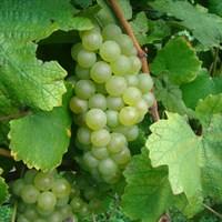 Виноград Шардоне Блан-зеленый