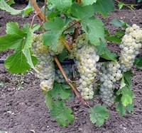 Виноград Йоханнитер-белый