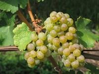 Виноград Пино Блан-белый