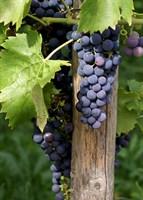 Виноград Регент-синий