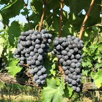 Виноград Рондо-синий