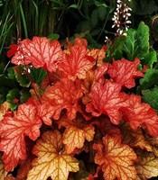 Гейхера Паприка-оранжевый