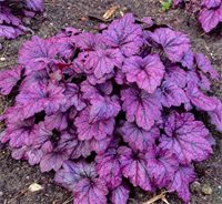 Гейхера Плюм Роял (Heuchera Plum Royal)