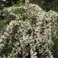 Вейгела цветущая Кандида-белый