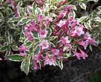 Вейгела цветущая Колсун-розовый
