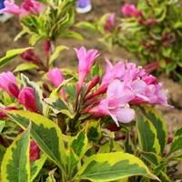 Вейгела цветущая Меджикал Рэйнбоу-розовый
