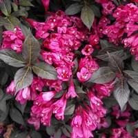 Вейгела цветущая Эльвира-розовый