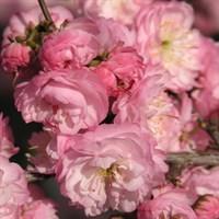 Вишня железистая Розеа Плена-РОЗОВЫЙ