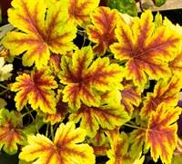 Гейхерелла гибридная Голден Зебра-двухцветный
