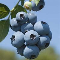 Голубика высокорослая Бригита Блю-синий
