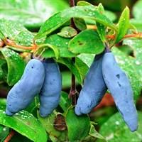 Жимолость синяя Бакчарская-синий