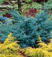 Можжевельник китайский Блю Альпс-зеленый