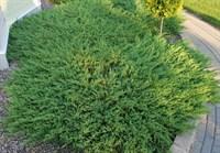 Можжевельник горизонтальный Андорра Компакт-зеленый