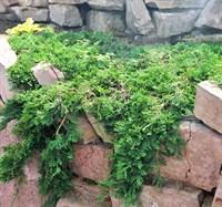 Можжевельник горизонтальный Вильтони-зеленый