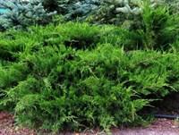 Можжевельник средний Минт Джулеп-зеленый