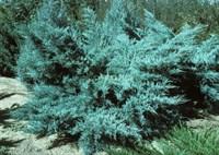 Можжевельник средний Пфитцериана Глаука-голубой
