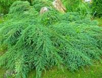 Можжевельник средний Пфитцериана Компакта-зеленый