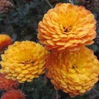 Хризантема Балиос-оранжевый