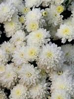 Хризантема Джиджи Сноу-белый