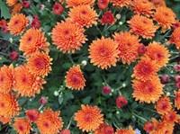 Хризантема Оранж Стар-оранжевый