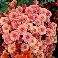 Хризантема Фруктис-розовый