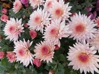 Хризантема Эльда пинк-розовый