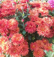 Хризантема Ватра-красный