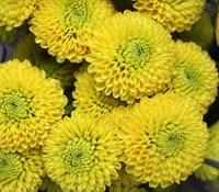 Хризантема Помпон Еллоу-желтый