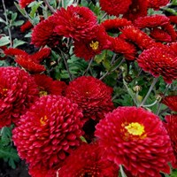 Хризантема Резея-темно-бордовый