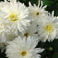 Хризантема Эверест-белый