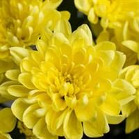Хризантема Балтика Йеллоу -желтый