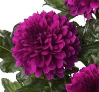 Хризантема Барка-фиолетовый