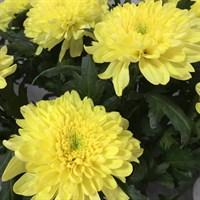 Хризантема Зембла Бразил-желтый