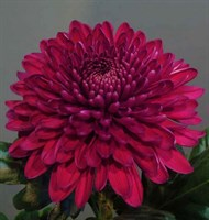 Хризантема Ягуар Перпл-темно-бордовый