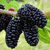 Шелковица черная-черный
