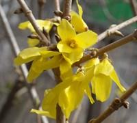 Форзиция Медоуларк-желтый