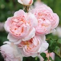 Роза Шарифа Асма -розовый