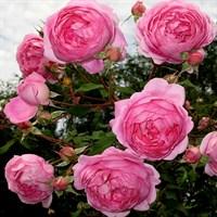 Роза Алан Титчмарш-розовый