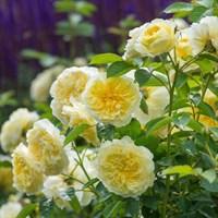 Роза Пилгрим-желтый