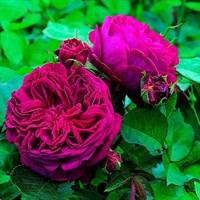 Роза Фальстаф-фуксия