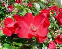 Роза парковая Робуста-красный
