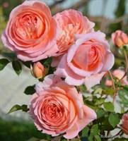 Роза Абрахам Дэрби-розовый