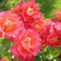 Роза Арлекин-розовый