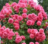 Роза Розариум Ютерсен-розовый