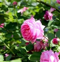 Роза эфиромасличная (казанлыкская)-розовый
