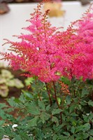Астильба Фрея-розовый